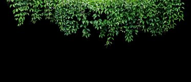 Free Hanging Vines Ivy Foliage Jungle Bush, Heart Shaped Green Leaves Climbing Plant Nature Backdrop Banner Isolated On Black Stock Images - 147396394