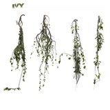 Hanging wall ivy. Hanging bunches of wall ivy on white background royalty free stock photo