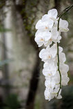 Hanging white orchids. Beautiful picture of  hanging white orchids Stock Images