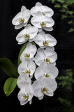 Hanging White Orchids. Gorgeous close up of hanging white orchid flowers on black background Royalty Free Stock Photo