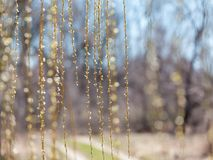 Hanging willow branches. A curtain of hanging willow branches in front of blurred background Stock Image