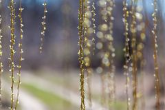 Hanging willow branches. A curtain of hanging willow branches in front of blurred background Royalty Free Stock Images