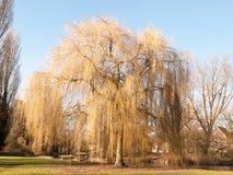 Hanging willow tree park early spring time sun light grass lands stock photos