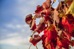 Hanging Wine Grape Leaves on blue sky Background Royalty Free Stock Photos