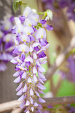Hanging Wisteria. Beautiful hanging white and purple wisteria Royalty Free Stock Photo