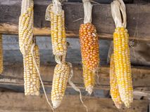 Hanging dried corn cobs Royalty Free Stock Photography