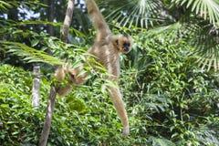 Hanging yellow cheeked gibbon Royalty Free Stock Photo