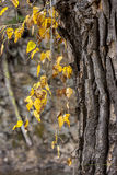 Hanging yellow leaves. Royalty Free Stock Image