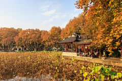 Hangzhou west lake autumn withered lotus leaf Stock Photos