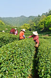 Hangzhou west lake longjing tea plantation Stock Image
