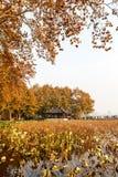 Hangzhou west lake lotus Stock Image