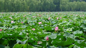 Hangzhou west lake with lotus flowers Royalty Free Stock Photography