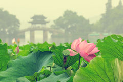 Hangzhou west lake Lotus in full bloom in a misty morning Stock Photo