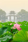 Hangzhou west lake Lotus in full bloom in a misty morning Stock Image