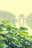Hangzhou west lake Lotus in full bloom in a misty morning Stock Photography