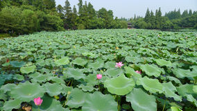 Hangzhou west lake,Lotus Stirred by Breeze in Quyuan Garden Royalty Free Stock Image