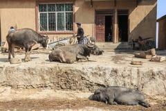 Hani bonde som är upptagen med hans dagliga aktiviteter med vattenbufflar och ett svin på förgrund Hani är en av de 56 minoritete Royaltyfria Bilder