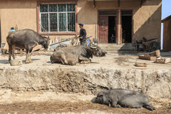 Hani farmer busy with his daily activities with water buffalos and a pig on foreground. Hani are one of the 56 minorities in China Royalty Free Stock Images