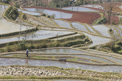 Hani woman working in a rice paddy in YuanYang. Royalty Free Stock Image
