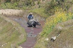 Hanimens die in een padieveld met zijn waterbuffel in YuanYang werkt royalty-vrije stock foto's