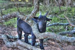 Hank the black goat Royalty Free Stock Photos