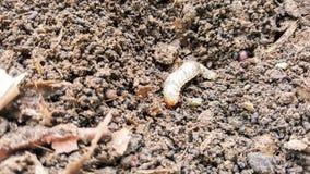 Hanneton solsticial, la vie d'insecte de ver Images libres de droits