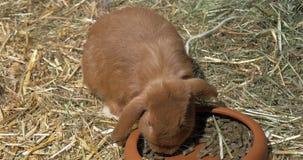 Hannover, Germania - 12 marzo 2018: Coniglio in deposito che mangia da una ciotola archivi video