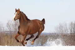 Hannover horse. Beautiful hannover mare on snowy meadow Stock Photography