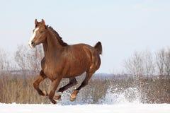 Hannover-Pferd Stockfotografie