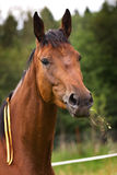 Hannoveraner horse. Horse walking on grass field Stock Photography