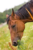 Hannoveraner horse. Horse walking on grass field Royalty Free Stock Photography