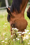 Hannoveraner horse. Horse walking on grass field Stock Image