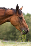 Hannoveraner horse. Horse walking on grass field Stock Photos