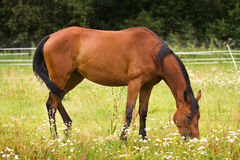 Hannoveraner horse walking on grass field Royalty Free Stock Photo