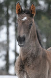 Hannoverian foal in winter. Hannoverian foal portrait in winter Royalty Free Stock Photos