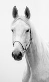 Hannoverian mare. Black and white portrait of Hannoverian mare Stock Image