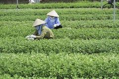 Hanoi, Vietnam - 28 Augustus, 2015: Aziatische vrouwenlandbouwers die groente op landbouw gecultiveerd gebied in voorstad van Han Royalty-vrije Stock Fotografie