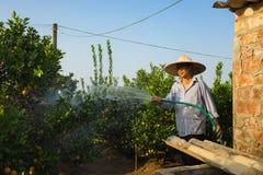 Hanoi, Vietnam - 10 de enero de 2016: El granjero riega el kumquat en el jardín de Nhat Tan, un mes antes del Año Nuevo lunar vie Imagenes de archivo
