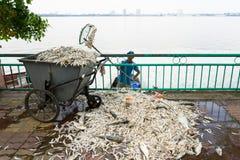 Hanoi, Vietnam - 2 de octubre de 2016: La pila de pescados muertos que ponían en la tierra recogió del agua contaminada en el lag Imagen de archivo libre de regalías