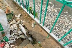 Hanoi, Vietnam - 2 de octubre de 2016: La pila de pescados muertos que ponían en la tierra recogió del agua contaminada en el lag Fotografía de archivo libre de regalías