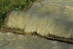Hanoi, Vietnam: die Pfeilwurzsuppennudeln, die spezielle vietnamesische Nudeln sind, werden auf den Bambuszäunen getrocknet, die  Stockbild