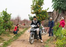 Hanoi, Vietnam - Feb 1, 2015: Farmer transports kumquat tree by motorbike at Nhat Tan garden, Hanoi. Kumquat and peach blossom are. Symbol of Vietnamese lunar Stock Photography