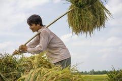 Hanoi, Vietnam 6 giugno: Gli agricoltori non identificati lavorano al giacimento del riso nella stagione del raccolto il 6 giugno Fotografia Stock