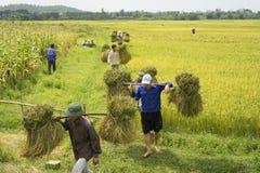 Hanoi Vietnam Juni 7: Oidentifierade bönder arbetar på risfält i skördsäsong på Juni 7, 2014 i Hanoi, Vietnam Vietnam är Arkivfoton