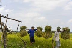 Hanoi Vietnam Juni 7: Oidentifierade bönder arbetar på risfält i skördsäsong på Juni 7, 2014 i Hanoi, Vietnam Vietnam är Royaltyfria Bilder