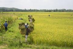 Hanoi Vietnam Juni 7: Oidentifierade bönder arbetar på risfält i skördsäsong på Juni 7, 2014 i Hanoi, Vietnam Vietnam är Arkivbild