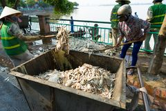 Hanoi, Vietnam - Oct 2, 2016: Pile of dead fish took out of polluted water at West Lake collected to garbage cart on street.  Stock Images