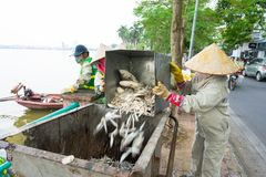 Hanoi, Vietnam - Oct 2, 2016: Pile of dead fish took out of polluted water at West Lake collected to garbage cart on street.  Royalty Free Stock Image