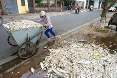 Hanoi, Vietnam - Oct 2, 2016: Pile of dead fish took out of polluted water at West Lake collected to garbage cart on street.  Stock Image