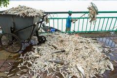 Hanoi, Vietnam - 2. Oktober 2016: Stapel von den toten Fischen, die auf dem Boden legen, sammelte vom verschmutzten Wasser bei We Lizenzfreie Stockbilder